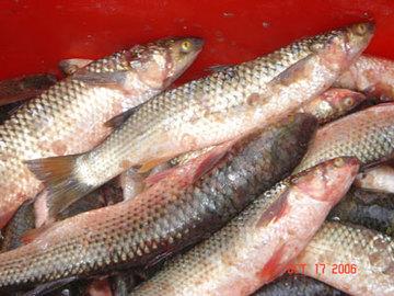 темрюк рыбалка пеленгас